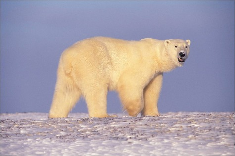polar-bear-529638_1280